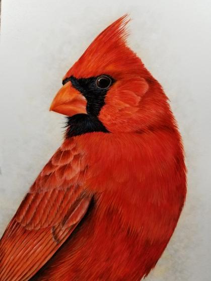 cardinalcloseup
